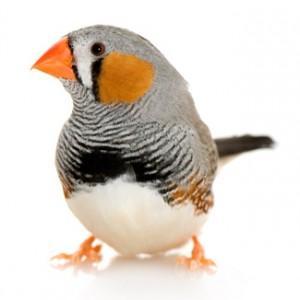 Image 19 of Stocked Bird List at Warrington Pets & Exotics
