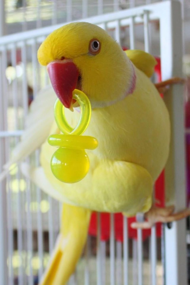 Image 5 of Mixed pet and aviary birds available