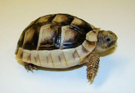 Preview of the first image of Baby Tortoises for sale.