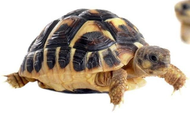Image 10 of Baby Tortoises for sale