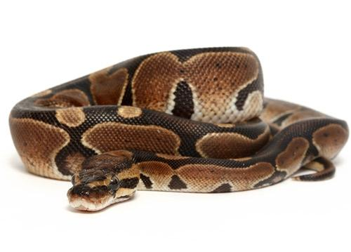 Image 3 of NEW...ROYAL PYTHON MORPHS & MORE NOW IN STOCK