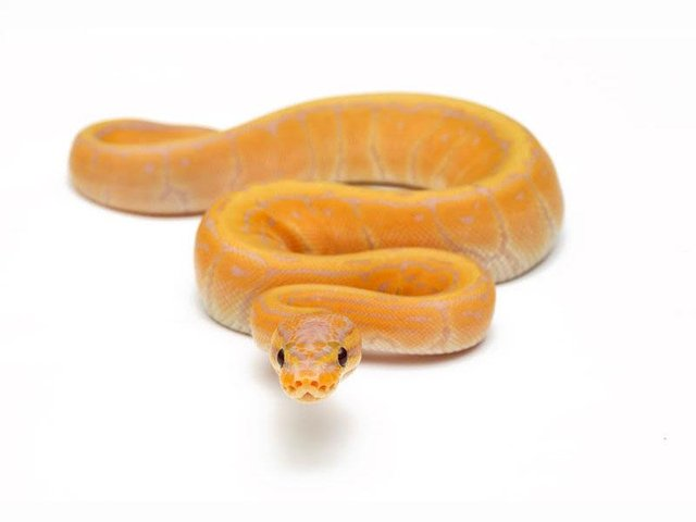 Image 4 of NEW...ROYAL PYTHON MORPHS & MORE NOW IN STOCK