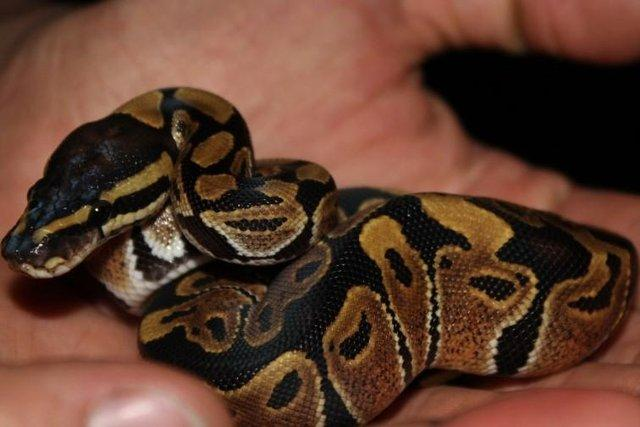 Image 5 of NEW...ROYAL PYTHON MORPHS & MORE NOW IN STOCK
