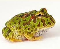Image 9 of AMPHIBIANS AND INVERTS FOR SALE