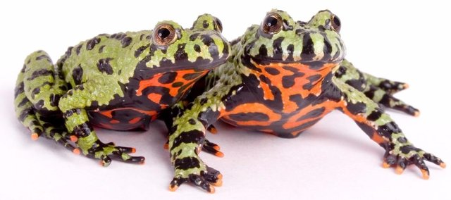 Image 10 of AMPHIBIANS AND INVERTS FOR SALE