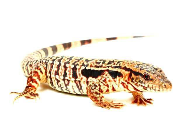 Image 7 of WP&E LIZARDS FOR SALE