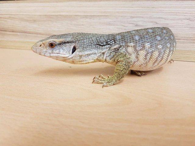 Image 8 of WP&E LIZARDS FOR SALE