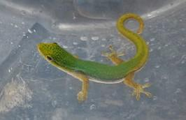 Image 9 of WP&E LIZARDS FOR SALE