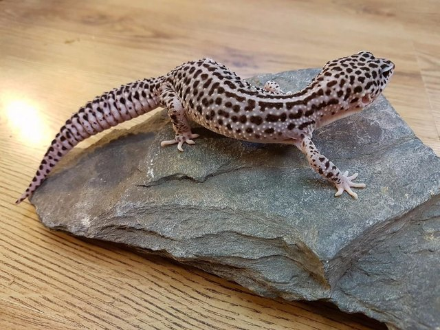Image 12 of WP&E LIZARDS FOR SALE