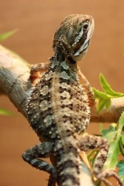 Image 13 of WP&E LIZARDS FOR SALE