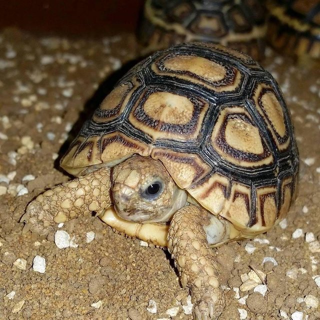 Image 2 of Current Chelonia (Tortoise and Turtle) Stocklist