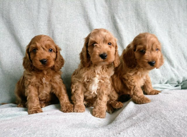 Image 2 of Proven Red Toy Poodle Stud Dog (Health Tested)