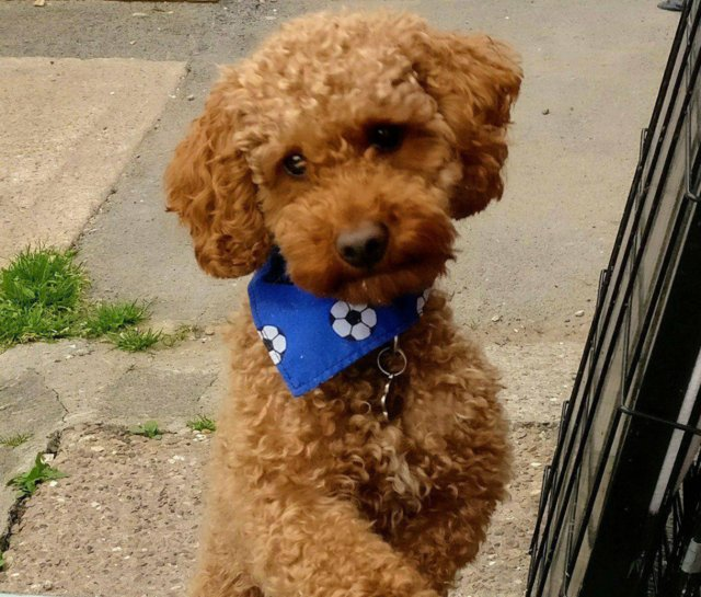 Preview of the first image of Proven Red Toy Poodle Stud Dog (Health Tested).