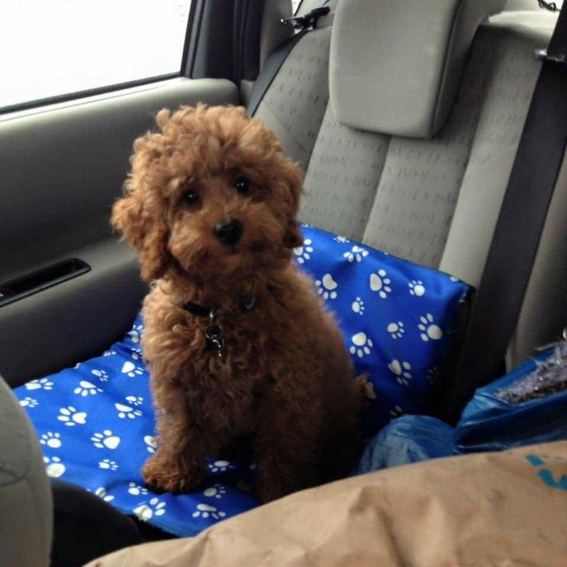 Image 4 of Proven Red Toy Poodle Stud Dog (Health Tested)