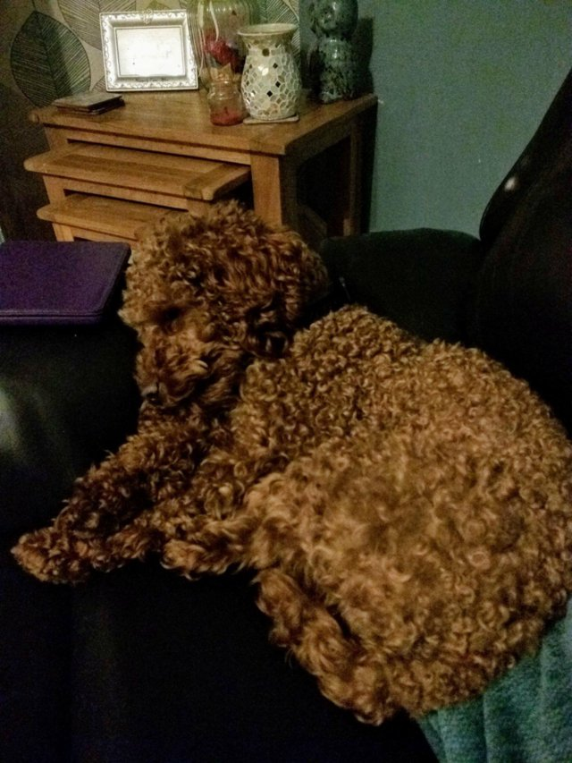 Image 5 of Proven Red Toy Poodle Stud Dog (Health Tested)