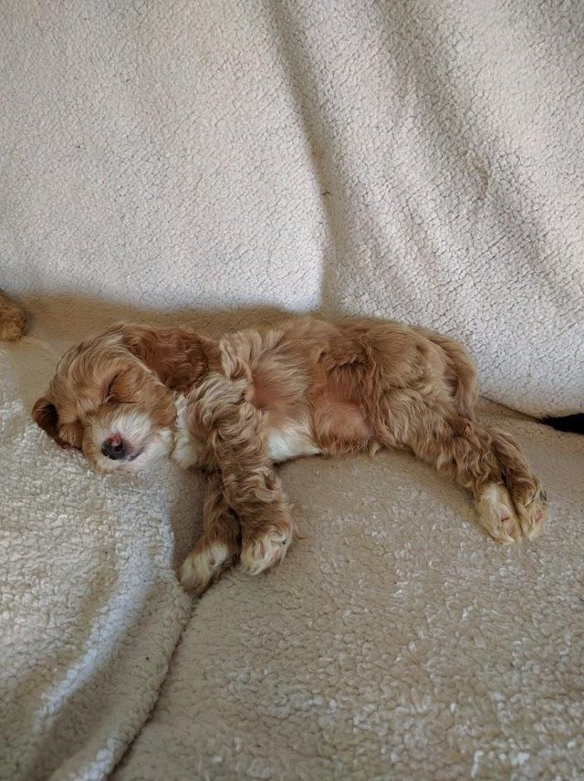 Image 7 of Proven Red Toy Poodle Stud Dog (Health Tested)