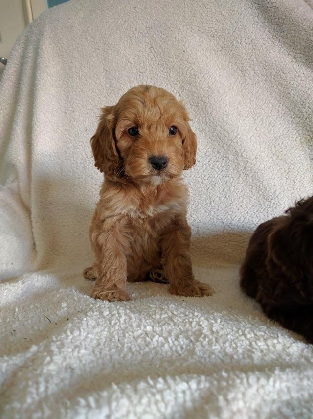 Image 8 of Proven Red Toy Poodle Stud Dog (Health Tested)