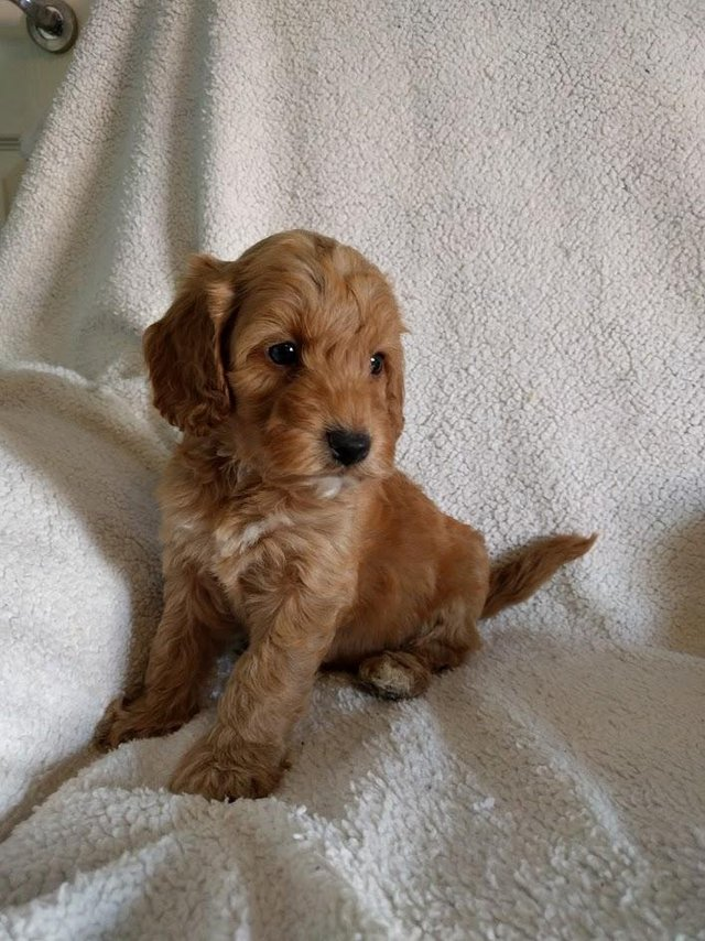 Image 9 of Proven Red Toy Poodle Stud Dog (Health Tested)