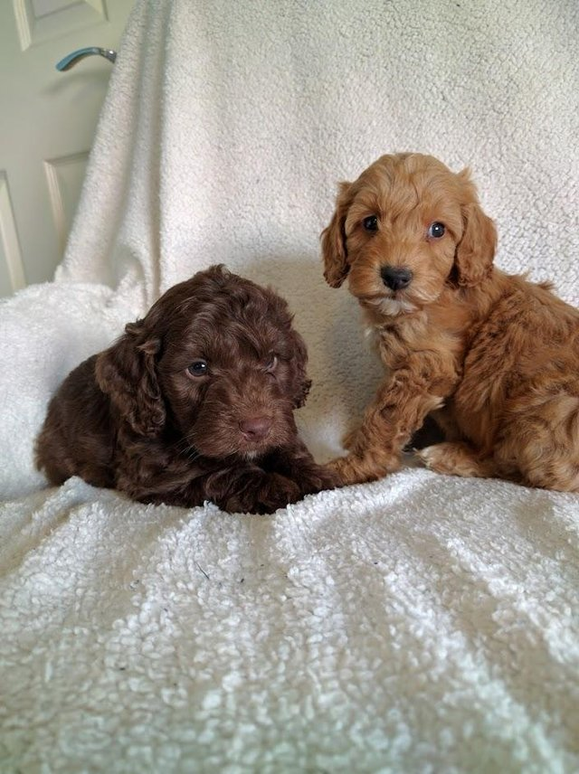 Image 10 of Proven Red Toy Poodle Stud Dog (Health Tested)