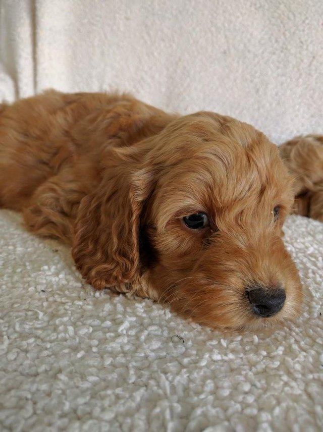 Image 11 of Proven Red Toy Poodle Stud Dog (Health Tested)