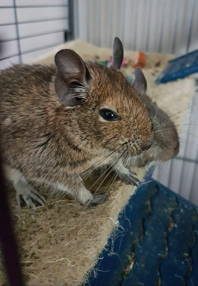 3 male degus with very large cage accessories and toys solid pet carrier food straw bedding cleaning wipes   spray etc  these have been much loved but     degu   pets rehome buy and sell in york north yorkshire   preloved  rh   preloved co uk