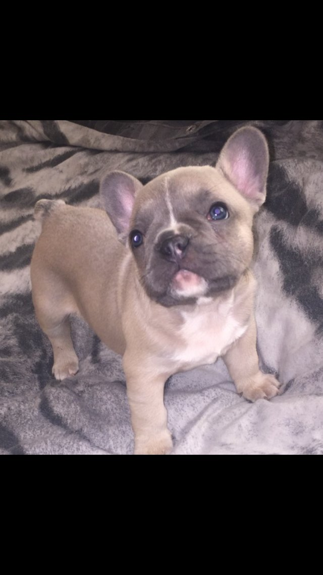 Puppies Under 300 Dogs And Puppies For Sale In The Uk And Ireland