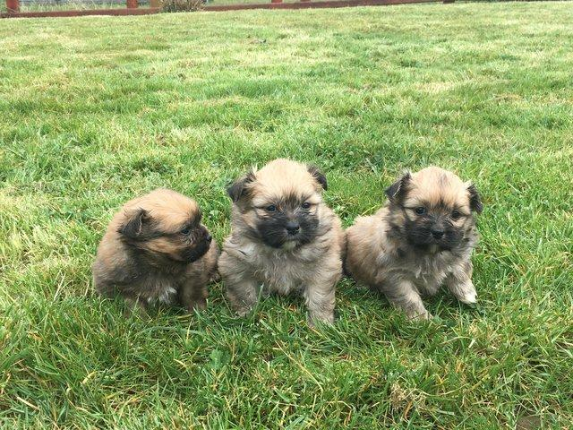 Shih tzu dogs and puppies for sale in swansea preloved dad is a shih tzu who belongs to a friend both parents have excellent temperaments puppies are absolutely gorgeous very affectionate thecheapjerseys Choice Image