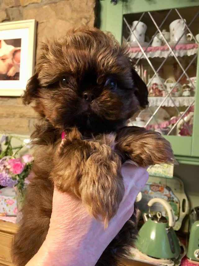 Kc Registered Shih Tzu Imperial Puppies For Sale For Sale In