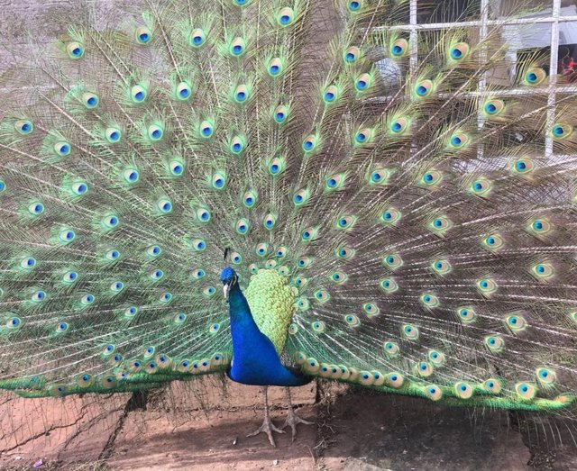 Preview of the first image of Peafowl Rescue Centre & Sanctuary.