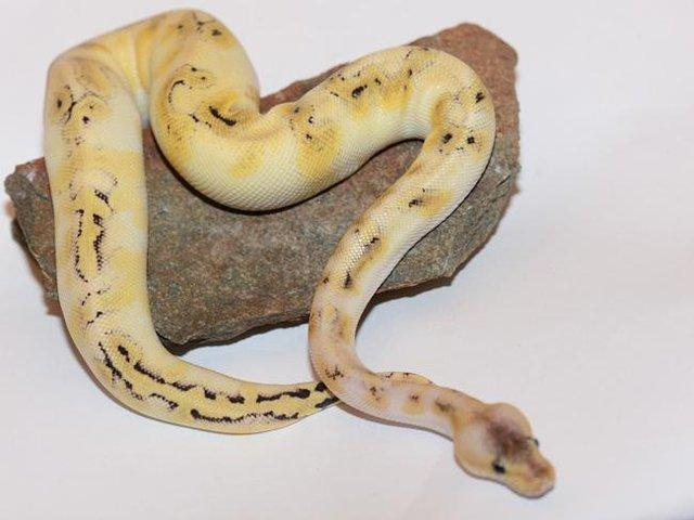 Preview of the first image of NEW...ROYAL PYTHON MORPHS & MORE NOW IN STOCK.
