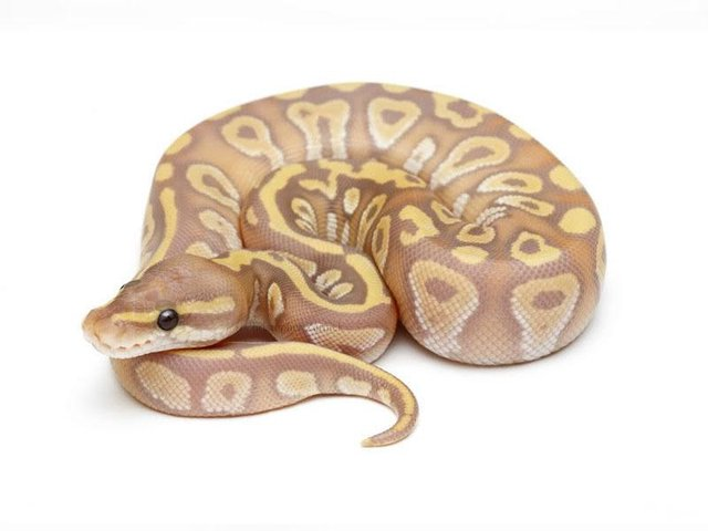Image 6 of NEW...ROYAL PYTHON MORPHS & MORE NOW IN STOCK