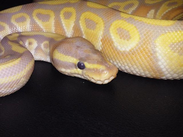Image 7 of NEW...ROYAL PYTHON MORPHS & MORE NOW IN STOCK