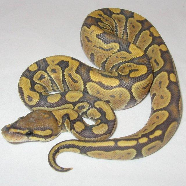 Image 8 of NEW...ROYAL PYTHON MORPHS & MORE NOW IN STOCK