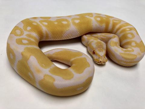Image 9 of NEW...ROYAL PYTHON MORPHS & MORE NOW IN STOCK
