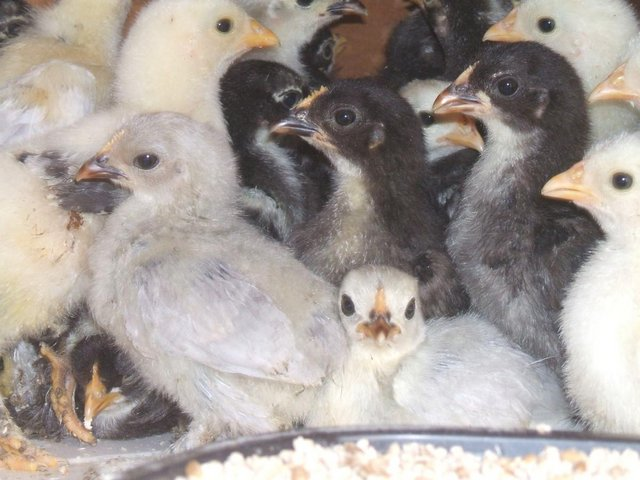 Image 5 of Pekin bantams for sale in Leicestershire