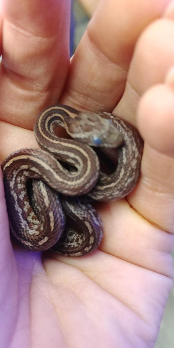 Image 6 of Corn snakes available