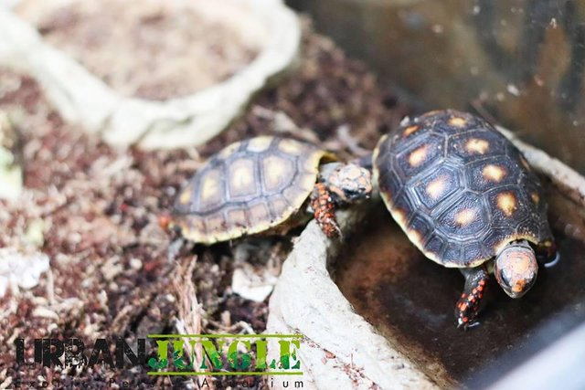 Image 5 of Current Chelonia (Tortoise and Turtle) Stocklist