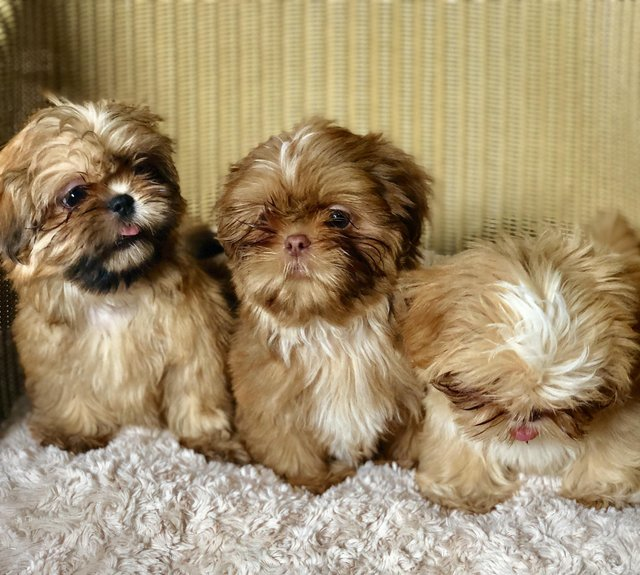 Shih Tzu Dogs Puppies For Sale In Cornwall Preloved