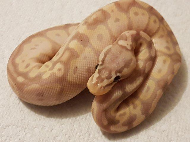 Preview of the first image of Adult banana firefly royal python.