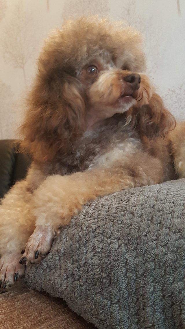 Image 56 of Tiny phantom HEALTH tested poodle for STUD ONLY