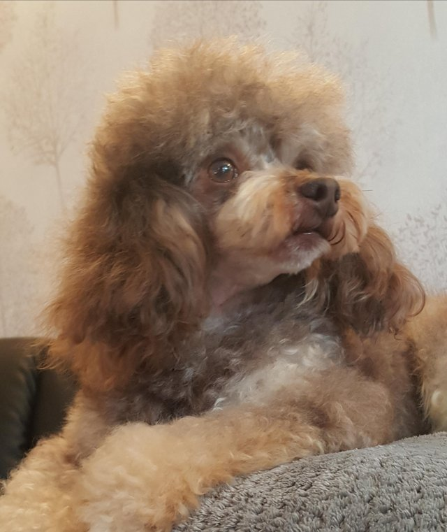 Image 57 of Tiny phantom HEALTH tested poodle for STUD ONLY