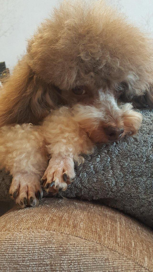 Image 59 of Tiny phantom HEALTH tested poodle for STUD ONLY