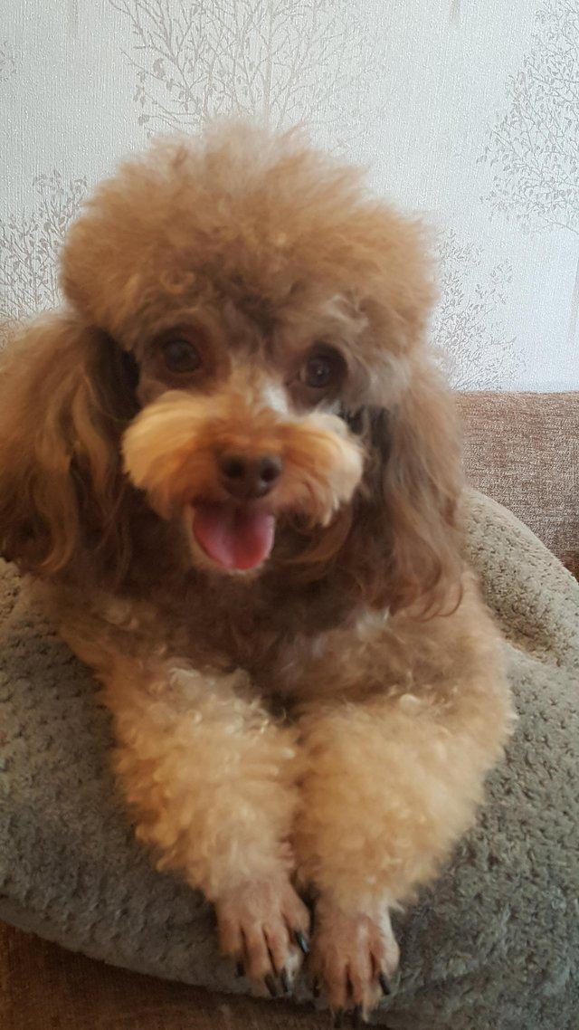 Image 61 of Tiny phantom HEALTH tested poodle for STUD ONLY