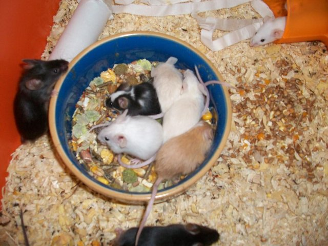 Image 2 of loving forever home offered to any unwanted rodents