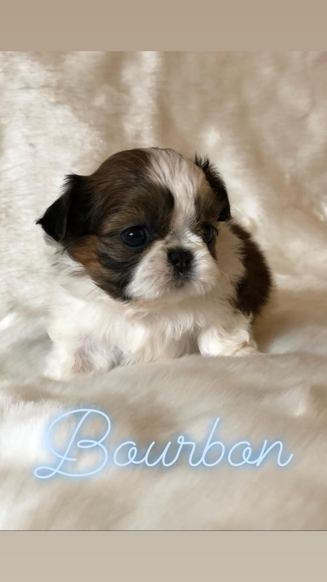 Miniature Shih Tzu Dogs Puppies Rehome Buy And Sell Preloved