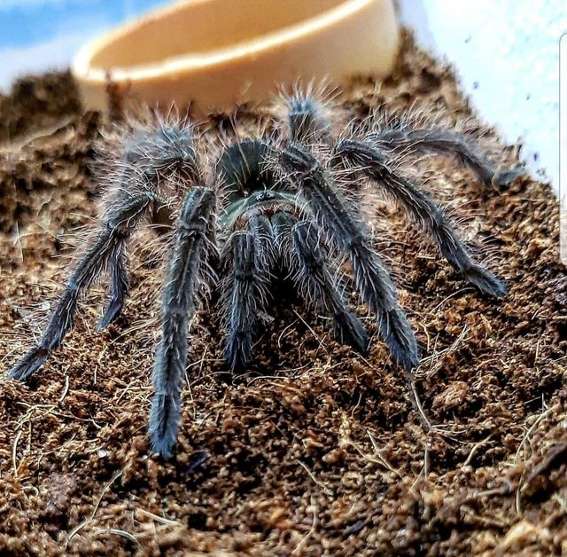 Preview of the first image of Fantastic Selection of Tarantulas at B'ham Reptiles.
