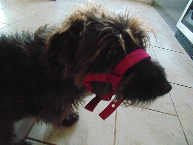 Image 9 of Tiny tiny  head collar , to fit, mini pony, goat, sheep,