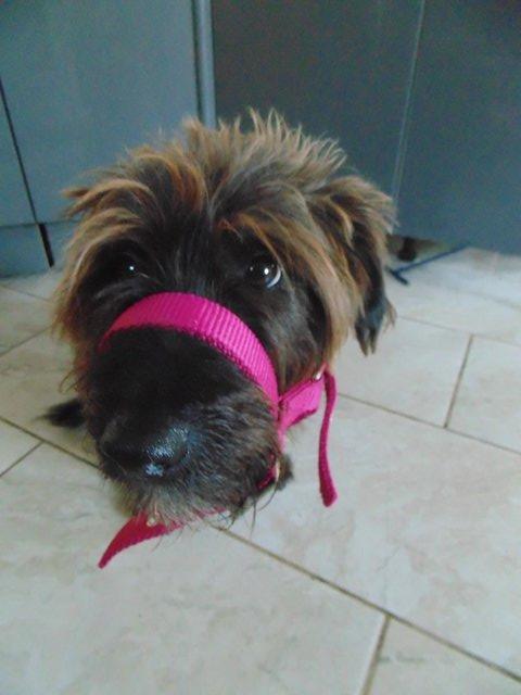 Image 8 of Tiny tiny  head collar , to fit, mini pony, goat, sheep,