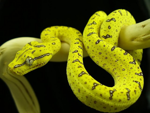 Preview of the first image of Snakes For Sale at B'ham Reptiles & Pets.