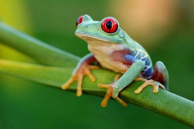Preview of the first image of Frogs For Sale At B'ham Reptiles & Pets.